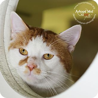 Domestic Shorthair Cat for adoption in Lyons, New York - Prince