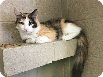 Calico Cat for adoption in Gadsden, Alabama - Shakira