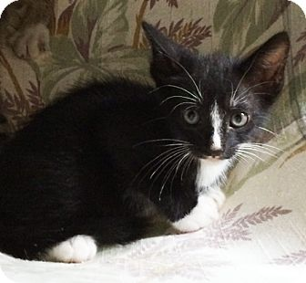 Domestic Mediumhair Kitten for adoption in Metairie, Louisiana - Stripe
