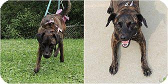 Plott Hound Mix Dog for adoption in Middleton, Wisconsin - Otto