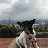 Chihuahua/Terrier (Unknown Type, Small) Mix Dog for adoption in Cincinnati, Ohio - Consuela