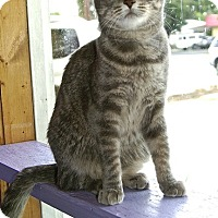 American Shorthair Cat for adoption in Englewood, Florida - Mindy