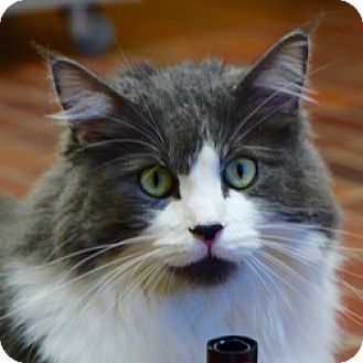 Domestic Longhair Cat for adoption in Des Moines, Iowa - Rico