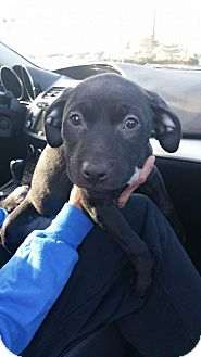 Pit Bull Terrier Mix Puppy for adoption in Reno, Nevada - Sissy