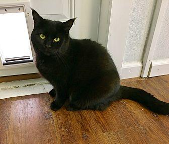 Domestic Shorthair Cat for adoption in Greensburg, Pennsylvania - Jazzie