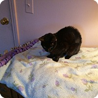 Adopt A Pet :: Sable - Rochester, NY