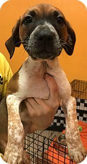 Shepherd (Unknown Type)/Hound (Unknown Type) Mix Puppy for adoption in Boca Raton, Florida - Jada
