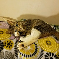 Adopt A Pet :: Gimlet - Lodi, CA
