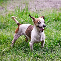 Chihuahua Mix Dog for adoption in Virginia Beach, Virginia - Lupe'