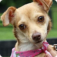 Chihuahua Mix Dog for adoption in West Grove, Pennsylvania - Willow