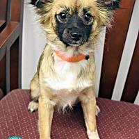 Adopt A Pet :: Cookie - Kimberton, PA