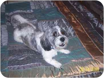 Tibetan Terrier Dog for adoption in Coal City, West Virginia - Pepper Jack