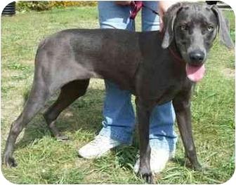 Weimaraner Puppy for adoption in North Judson, Indiana - Daisy