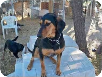 Shepherd (Unknown Type)/Black and Tan Coonhound Mix Dog for adoption in Pie Town, New Mexico - CAIRO
