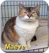 Domestic Shorthair Cat for adoption in Aldie, Virginia - Maeve