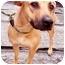 Photo 1 - Rhodesian Ridgeback/Labrador Retriever Mix Dog for adoption in New York, New York - Adriene