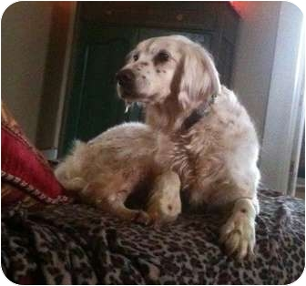 English Setter/Setter (Unknown Type) Mix Dog for adoption in Wood Dale, Illinois - Amber Lee-ADOPTIONPENDING!