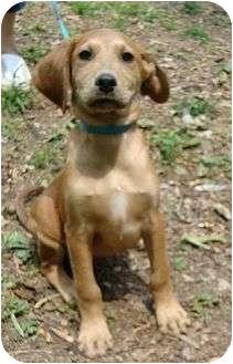 Hound (Unknown Type) Mix Dog for adoption in Harrisonburg, Virginia - Hugo