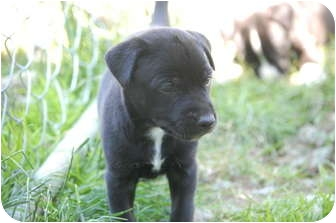 Labrador Retriever/Pit Bull Terrier Mix Puppy for adoption in Bellingham, Washington - Sophie