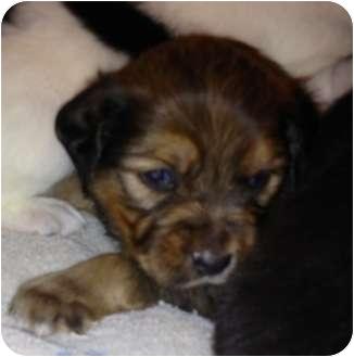 Golden Retriever/Australian Cattle Dog Mix Puppy for adoption in waterbury, Connecticut - GINGER
