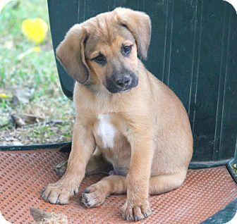 Rhodesian Ridgeback/Spaniel (Unknown Type) Mix Puppy for adoption in Westport, Connecticut - *Zip - PENDING