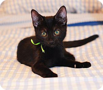 Russian Blue Kitten for adoption in Xenia, Ohio - Scotty