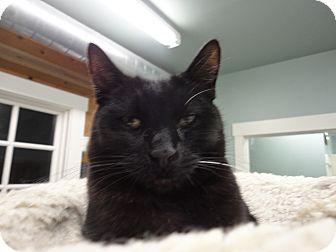 Domestic Shorthair Cat for adoption in Kingston, Washington - Chet
