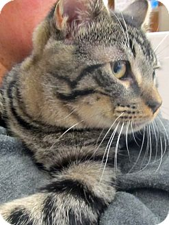 Domestic Shorthair Cat for adoption in Riverhead, New York - Omega