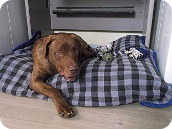 Pit Bull Terrier/Labrador Retriever Mix Dog for adoption in Buchanan Dam, Texas - Goober