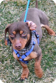 Dachshund Mix Dog for adoption in Fruit Heights, Utah - Shorty
