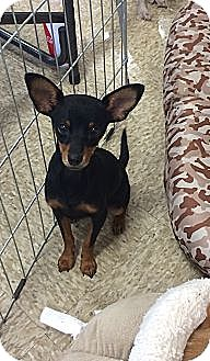 Miniature Pinscher Mix Puppy for adoption in Brea, California - Noodle