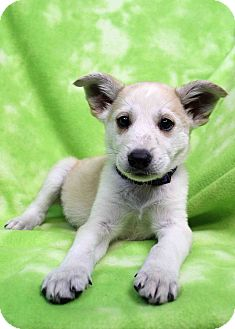 Husky/Shepherd (Unknown Type) Mix Puppy for adoption in Westminster, Colorado - Brisket