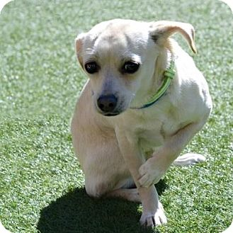 Chihuahua Mix Dog for adoption in Denver, Colorado - Vera