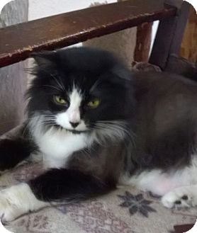 Domestic Longhair Cat for adoption in Morgantown, West Virginia - Smokey