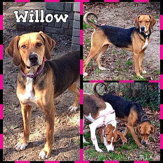 Treeing Walker Coonhound/Beagle Mix Dog for adoption in Sumter, South Carolina - Willow
