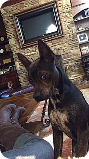 Mountain Cur Mix Dog for adoption in Milton, New York - Gus