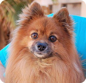 Pomeranian Mix Dog for adoption in Las Vegas, Nevada - Sheldon