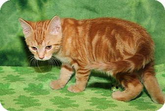 Domestic Mediumhair Kitten for adoption in Marietta, Ohio - Morris (Neutered)