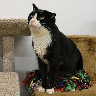 Domestic Shorthair/Domestic Shorthair Mix Cat for adoption in Morgan Hill, California - Dorothy