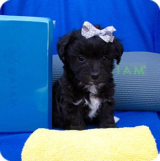 Maltese/Poodle (Miniature) Mix Puppy for adoption in Irvine, California - Chakra