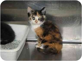 Domestic Shorthair Kitten for adoption in Ephrata, Pennsylvania - Bonnie & siblings