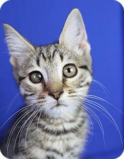 Domestic Shorthair Kitten for adoption in Winston-Salem, North Carolina - Connor