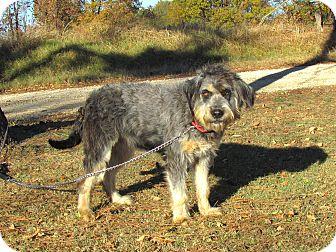 Bearded Collie/Schnauzer (Standard) Mix Dog for adoption in Bedminster, New Jersey - ZANEY
