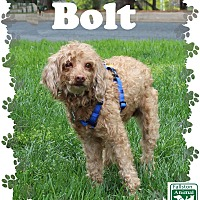 Adopt A Pet :: Bolt - Fallston, MD