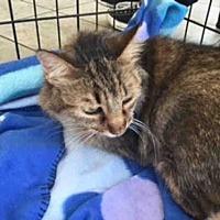 Adopt A Pet :: FOXY CLEOPATRA - San Antonio, TX