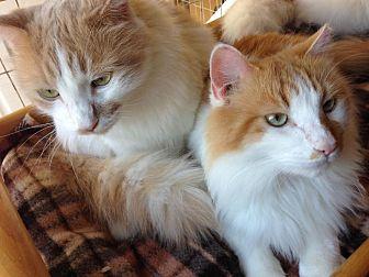 Turkish Van Cat for adoption in Parlier, California - Frankie James