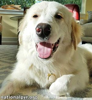 Great Pyrenees Dog for adoption in Beacon, New York - Lily in FL - new!
