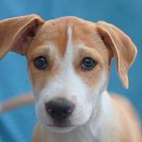 Adopt A Pet :: Parcheesi - Nanuet, NY