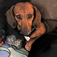 Adopt A Pet :: Asia in MI - Columbia, TN