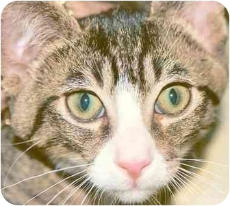 Domestic Shorthair Kitten for adoption in Rolling Hills Estates, California - Cocoa